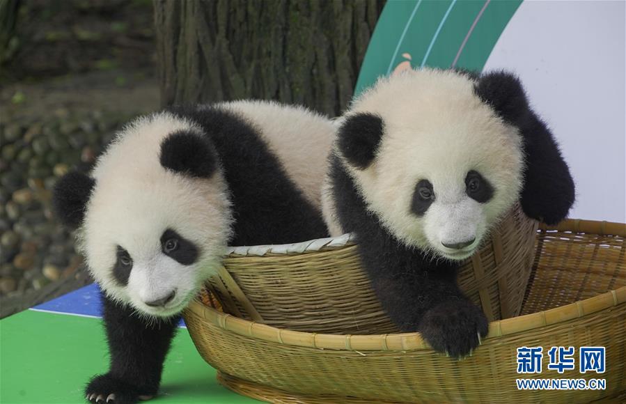 (新华视界)(1)2020年成都新生大熊猫幼仔国庆前亮相