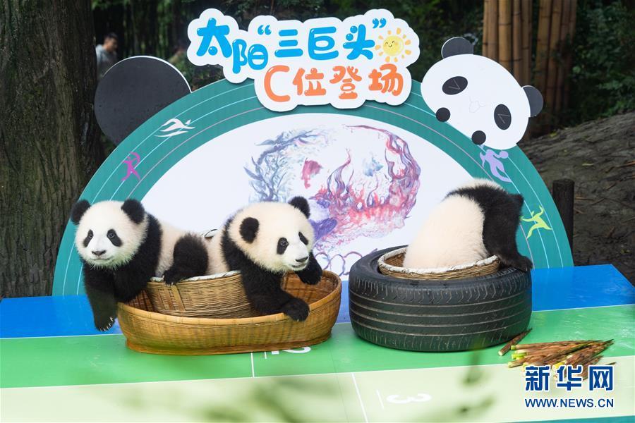 (新华视界)(4)2020年成都新生大熊猫幼仔国庆前亮相