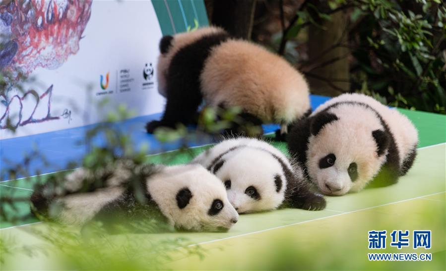(新华视界)(2)2020年成都新生大熊猫幼仔国庆前亮相