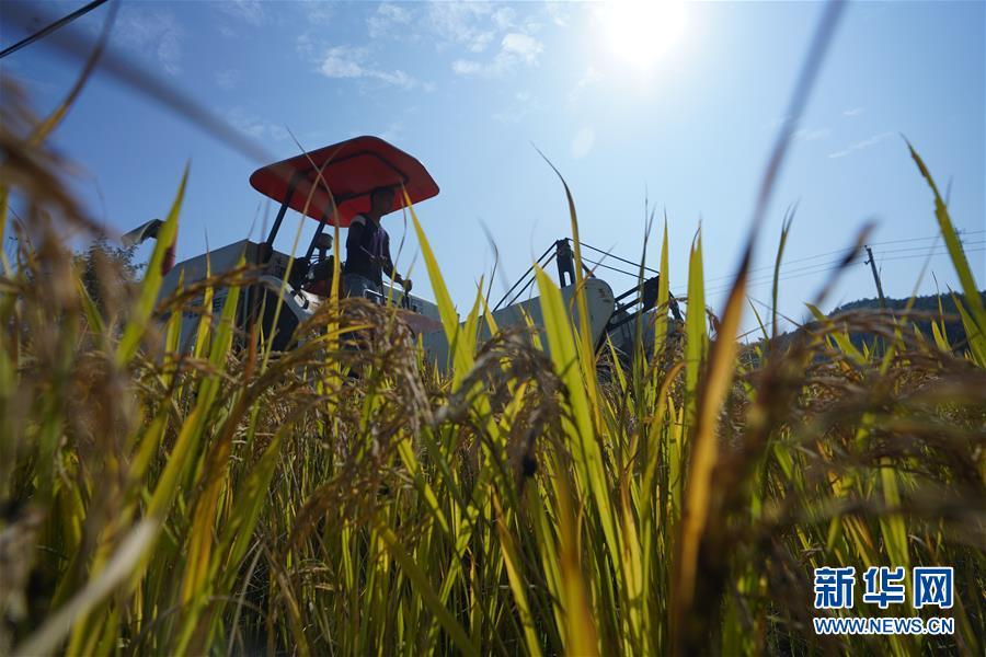 江西万载:高产稻田迎来丰收季
