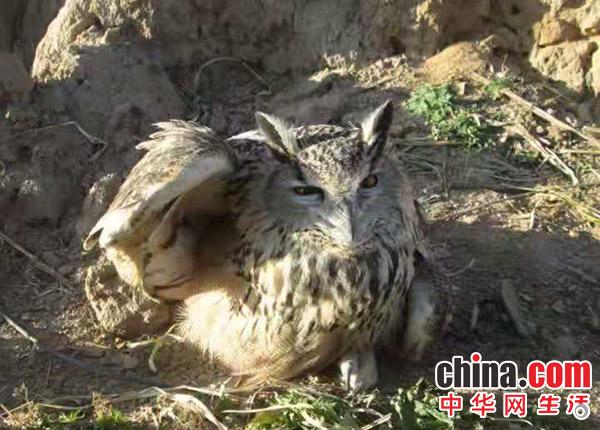 """内蒙古赤峰市敖汉旗萨力巴派出所救助一只""""鸮"""""""
