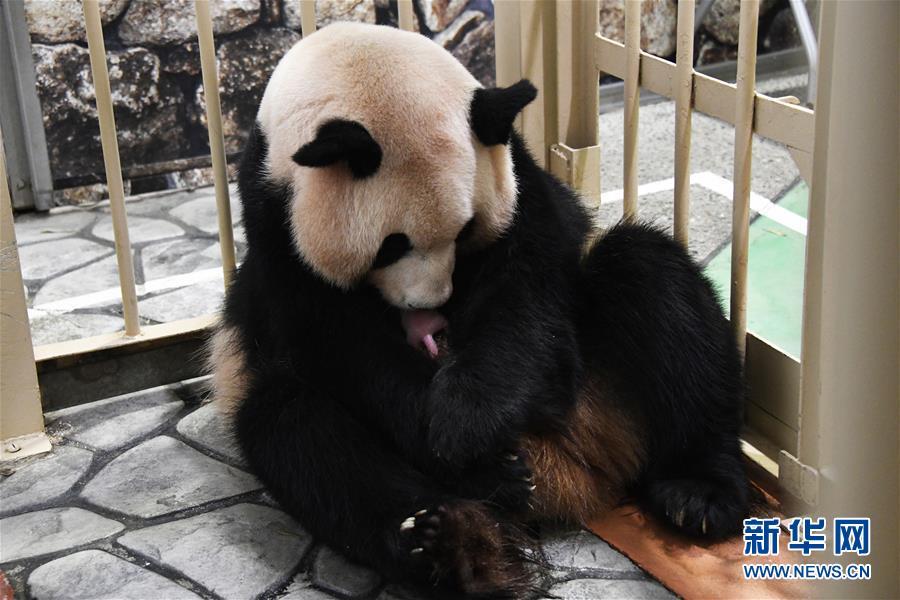 又一大熊猫宝宝在日本诞生