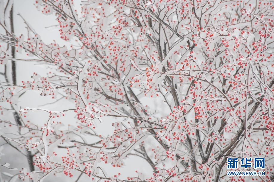 天蒙山初雪裹红豆,半是诗情半是冬