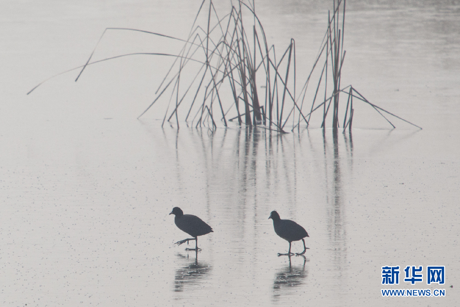 数百只白骨顶鸡高青天鹅湖过冬