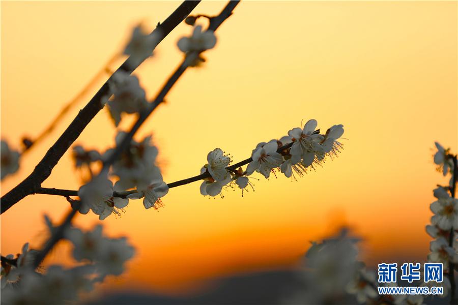 早梅现初蕊 繁枝傲晨霜