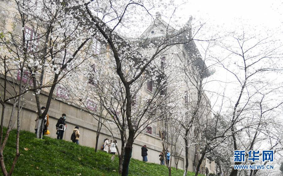 武汉大学开始接待预约游客赏樱