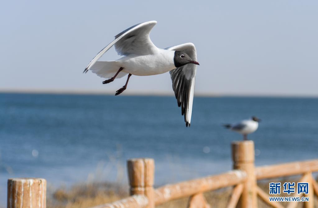 大批候鸟飞抵居延海