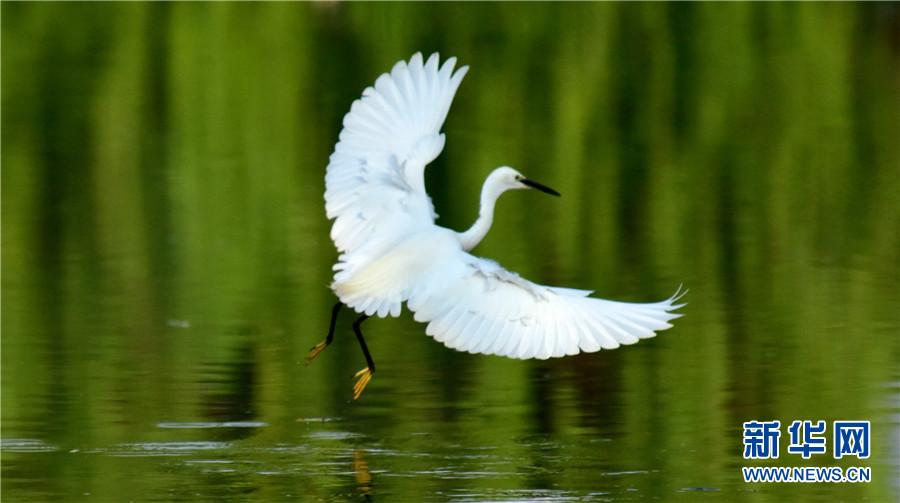 领略生物多样性之美 云南弥勒:白鹭鸶起舞弄清影