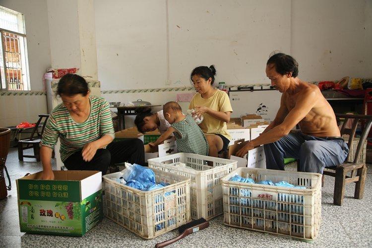 泸溪狮子山葡萄卖完啦!湘西州商务局助农活动成效显著
