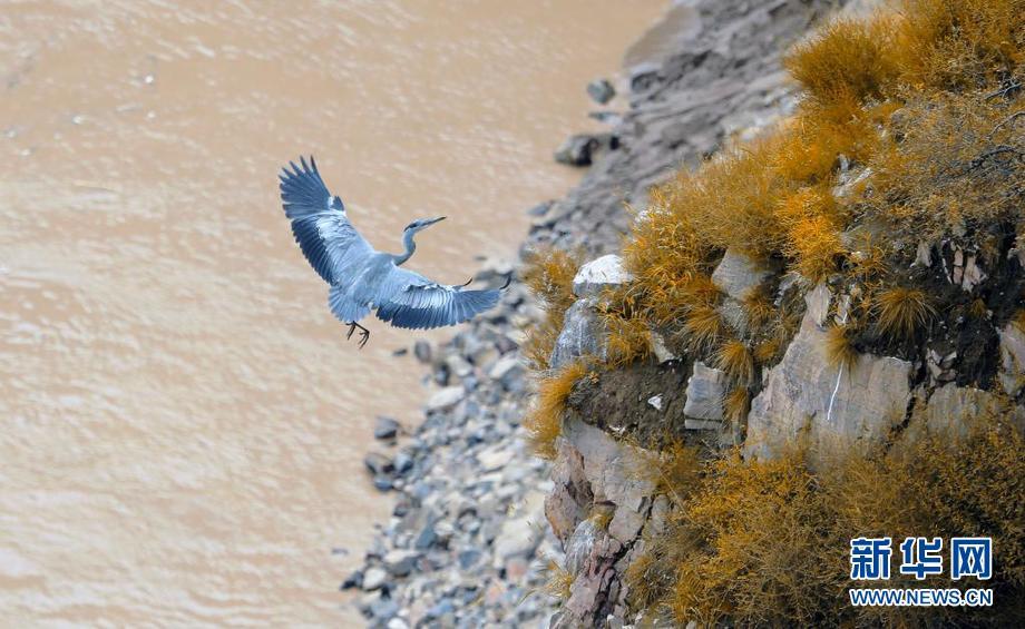 黄河岸边,苍鹭起舞