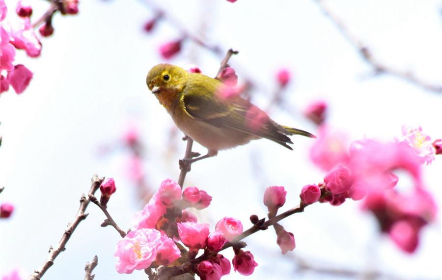 云南弥勒:梅花绽放 鸟语花香
