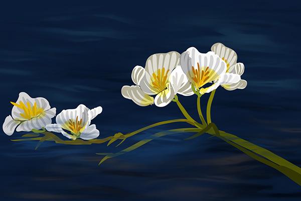植物中的环境观测员——海菜花