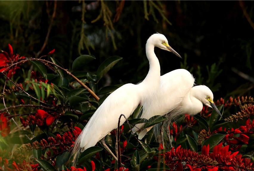 领略生物多样性之美|云南临沧玉龙湖畔白鹭飞