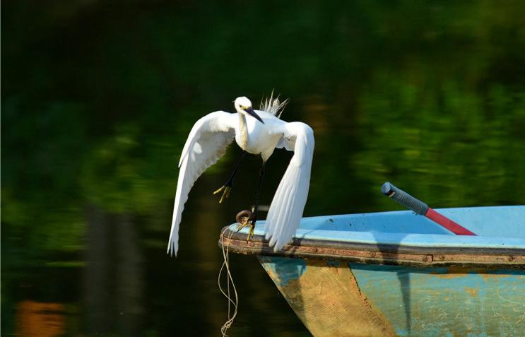 领略生物多样性之美|云南弥勒:白鹭鸶起舞弄清影