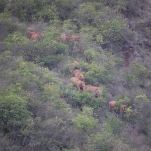 云南:北迁象群转入玉溪市易门县 离群独象位于昆明安宁市