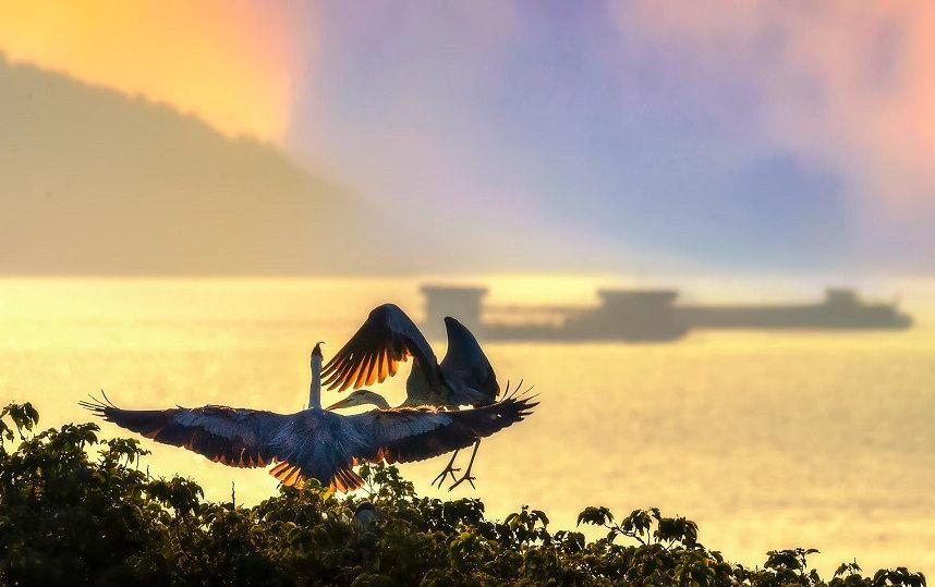 鄱阳湖畔 夏日苍鹭舞翩跹