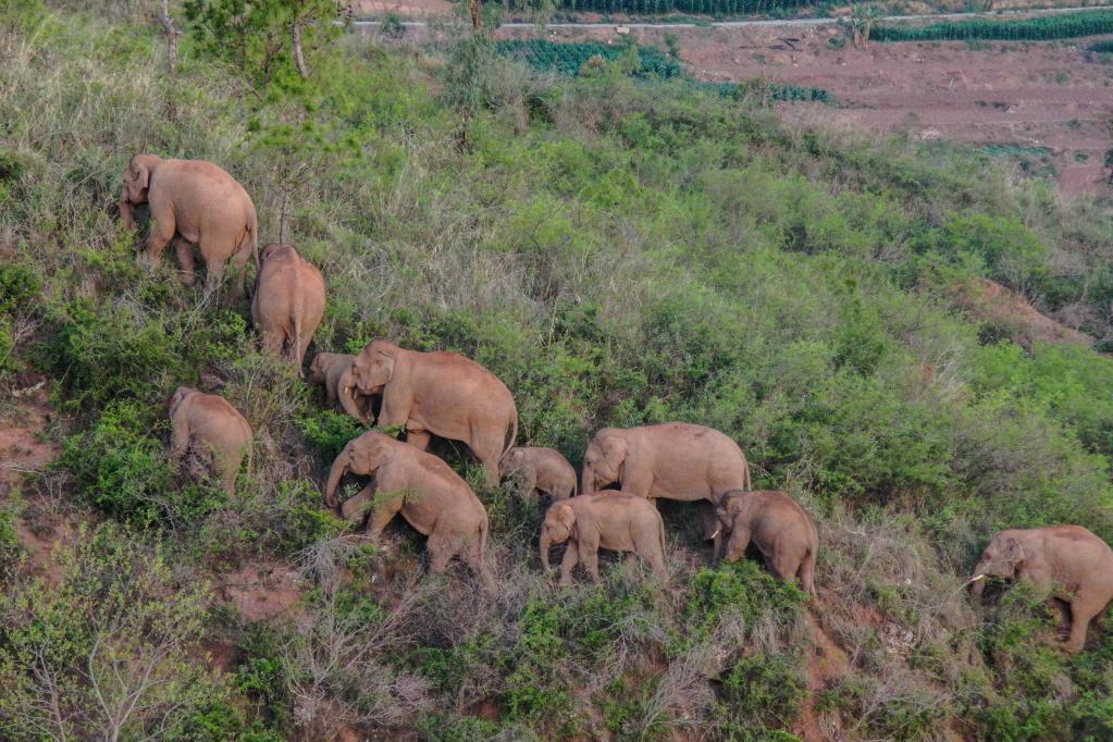 云南北移亚洲象群在峨山县大龙潭乡小范围活动