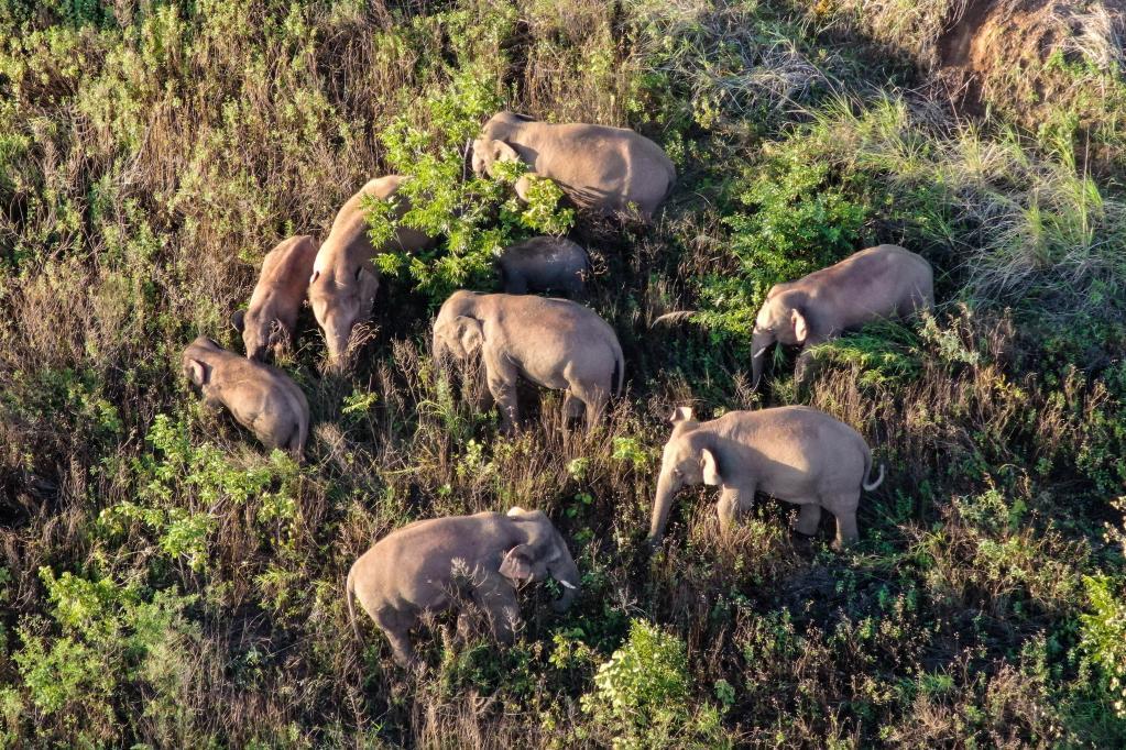 云南北移亚洲象群小范围活动 独象返回晋宁区