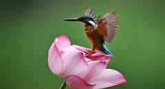 领略生物多样性之美|夏韵浓 荷花深处翠鸟忙