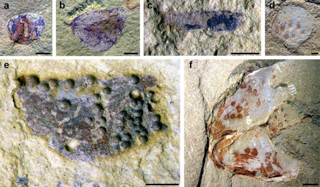 """科学家发现5亿年前化石库 内有大量""""幼崽""""标本"""