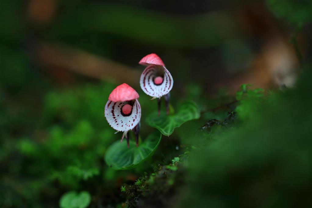云南龙陵首次发现珍稀濒危植物大理铠兰