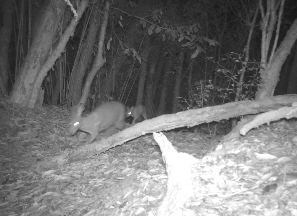 共建地球生命共同体丨云南昌宁拍到国家一级保护动物林麝母子珍贵影像